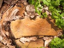 在森林地板上的坚实木精加工树桩与金黄李 免版税库存图片