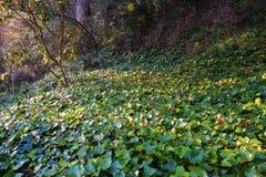 在森林地板上的太阳起斑纹的常春藤植物 免版税库存图片