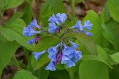 在森林地板上的弗吉尼亚会开蓝色钟形花的草 免版税图库摄影