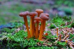 在森林地板上的微小的棕色蘑菇小组 免版税库存照片