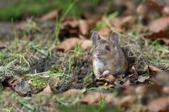 在森林地板上的木老鼠 库存图片