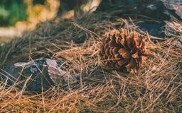 在森林地板上的杉木锥体 免版税库存照片