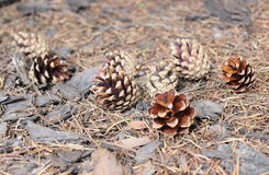 在森林地板上的杉木锥体 库存图片
