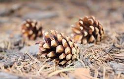 在森林地板上的杉木锥体 免版税库存图片