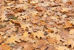 在森林地板上的橡木叶子 库存照片