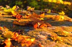 在森林地板上的秋叶在阳光下 库存图片