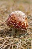 在森林地板上的红色伞菌 库存图片