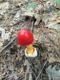 在森林地板上的红色蘑菇 免版税库存照片