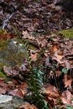 在森林地板上的绿色蕨 库存图片