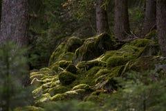 在森林地板上的绿色青苔 免版税库存图片