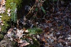 在森林地板上的蕨 免版税库存图片