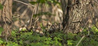 在森林地板上的蘑菇束 免版税库存照片