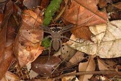 在森林地板上的Phryne 免版税图库摄影