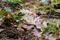 在森林地板的布朗叶子 秋天和冬天开始  免版税库存图片