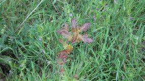 在森林地板1上的铜橡木Duir栎属树 免版税库存照片