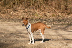 在森林地道路的红色狗 免版税库存照片