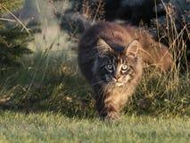 在森林地面的缅因浣熊 免版税库存图片
