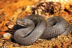在森林地面的黑蝰蛇属berus 免版税库存图片