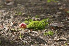 在森林地面绿色青苔眉头的小蘑菇伞形毒蕈muscaria 免版税图库摄影