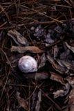 在森林地面,褐色的白色和紫色蜗牛壳离开 免版税图库摄影