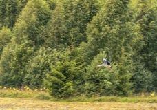 在森林多云蓝天的飞行鹳 由于摇摄的模糊的背景 免版税库存照片