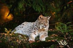在森林天猫座的野生猫在自然森林栖所 欧亚天猫座在森林里,桦树和杉木说谎在的森林天猫座 免版税图库摄影