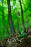 在森林夫人Orchid, Orchis purpurea,开花的欧洲地球野生兰花,自然栖所, blo细节的野生兰花  库存照片