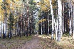 在森林小条的秋天树 免版税图库摄影