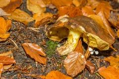 在森林山的蘑菇 库存照片