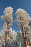 在森林巨型美国加州红杉多雪的塔结&# 库存照片