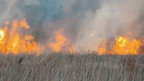 在森林干草原的可怕的大高野火 干燥干草原草在深刻的秋天烧 股票录像