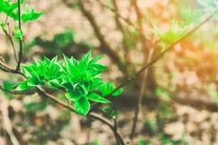 在森林年轻绿色花揪枝杈的新的生活有生长与童话阳光和火光的春天的叶子的 库存照片