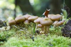 在森林废弃物掩藏的蘑菇 库存图片