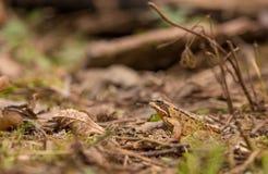 在森林废弃物的共同的青蛙 免版税库存图片