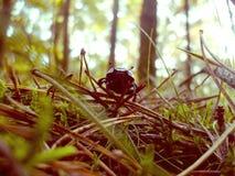 在森林废弃物的甲虫 库存照片