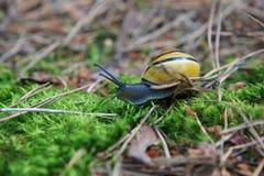 在森林废弃物的蜗牛 库存图片