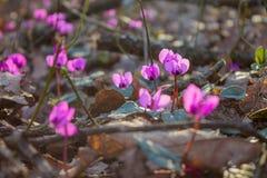 在森林报春花的仙客来 图库摄影