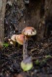 在森林掩藏的蘑菇 库存照片