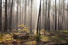 在森林早晨太阳的秋天黎明在秋天公园或森林放光或发出光线 库存照片