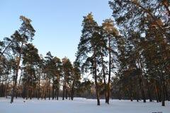 在森林横向射击雪结构树冬天之上 明亮的日 秋天 免版税库存图片