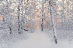 在森林横向射击雪结构树冬天之上 在一个积雪的桦树森林积雪的树的美好的冬天早晨在冬天森林真正的Ru里 免版税库存图片