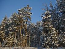 在森林横向射击雪结构树冬天之上 免版税库存图片