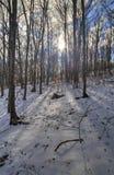 在森林横向射击雪结构树冬天之上 免版税图库摄影