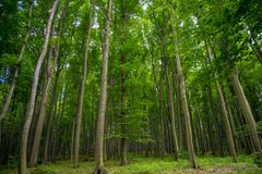 在森林沼地和一个杉木树丛的看法有青苔的,与在前景和背景的大高针叶树 免版税库存照片