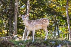 在森林沼地的多斑点的鹿 库存照片