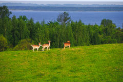 在森林沼地的小鹿 库存照片