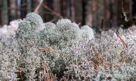 在森林沼地的白色青苔 免版税图库摄影