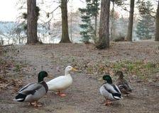 在森林清洁的四只鸭子 免版税库存照片