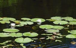 在森林湖的溶化的白百合 免版税库存照片