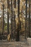 在森林火灾以后的杉树   库存照片
